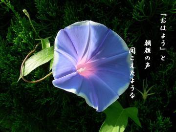 Asagao2
