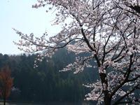 Sakura4121