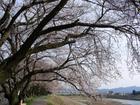Sakurahidari