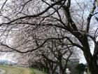 Sakuramigi