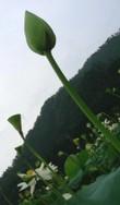 Suiren8_1