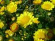 Yellowkiku1_1