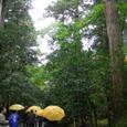参道の杉木立と椿の木