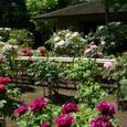 日本庭園の牡丹